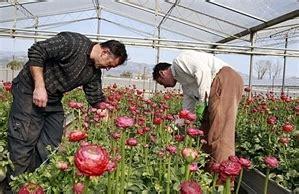 ciccolella fiori molfetta ciccolella 70 licenziamenti tra natale e capodanno