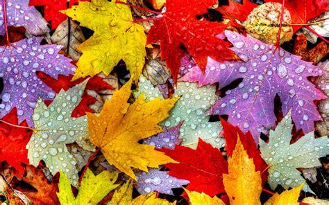 wallpaper leaves   wallpaper drops rain autumn