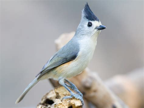 file black crested titmouse in santa ana national wildlife