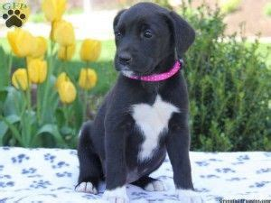 newfoundland lab mix puppies newfoundland black lab mix puppies for sale dogs newfoundland puppys