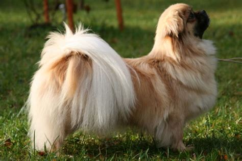 tibetan spaniel puppies sale tibetan spaniel puppies for sale from reputable breeders