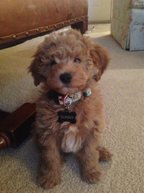 goldendoodle puppy goldendoodle dogs labradoodles and doodles