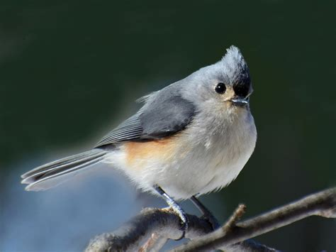 tufted titmouse song call voice sound