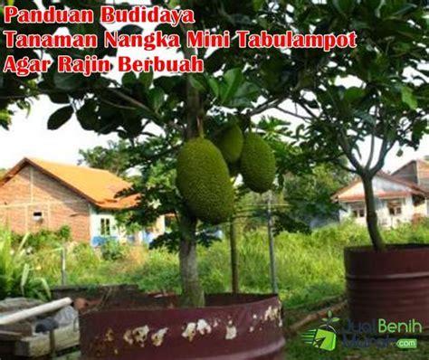 Tanaman Nangka Mini 7 panduan tepat budidaya tanaman buah nangka mini didalam