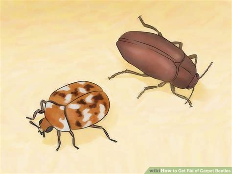 carpet beetles in couch how to get rid of carpet beetles 12 steps with pictures