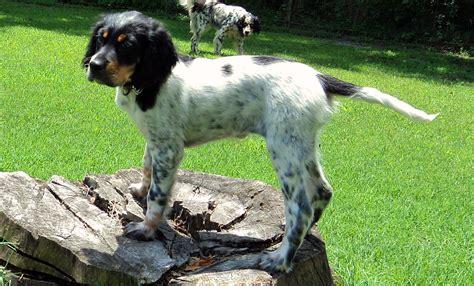 llewellin setter dog size puppy 1 east coast llewellin setters