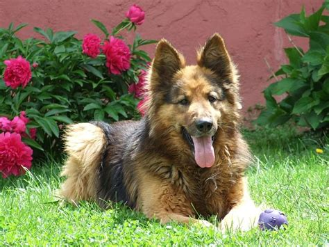 5 tips to help reduce shedding iheartdogs