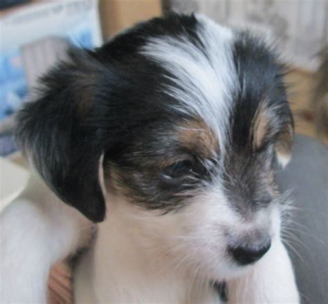 yorkie apso puppies pin yorkie apso puppies image search results on