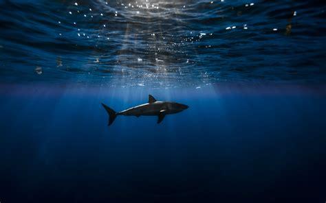 wallpaper hd for desktop themes shark hd wallpapers great shark fish desktop wallpapers