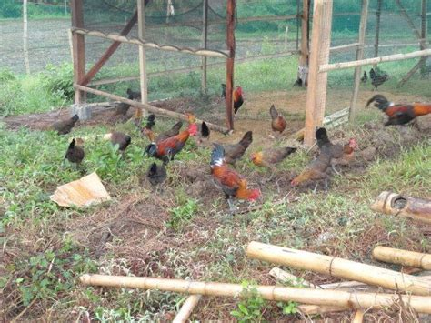 Philippine Native Chicken Quot Darag Quot Backyard Chicken Farming