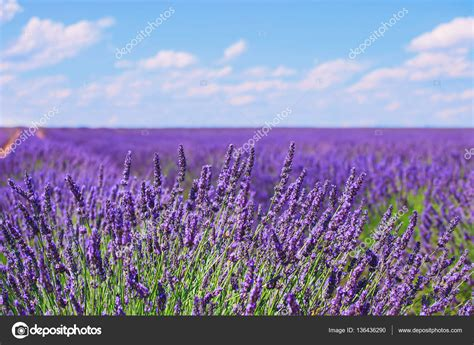 fiori di provenza orizzonte ci fioriti da lavanda fiore valensole