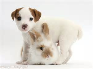 Wp33910 jack russell terrier puppy 4 weeks old and baby rabbit