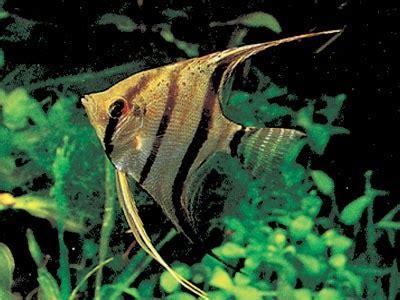 Pakan Ikan Hias Sumatra dunia ikan jenis jenis ikan penghuni aquascape
