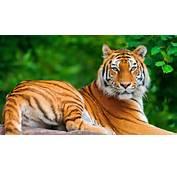 Tiger Wallpaper  HD 99Wallpaper