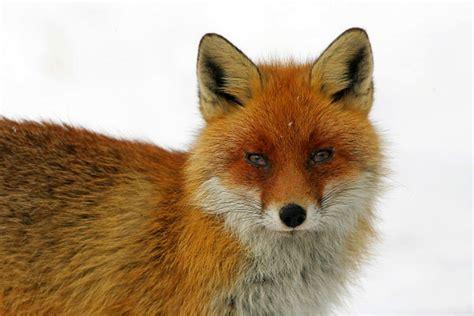 imagenes de zorros tristes informaci 243 n sobre el zorro informacion sobre animales