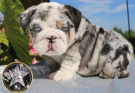 blue merle bulldog puppy shrinkabulls wrinkly merle tri bulldog puppies blue sale blue merle