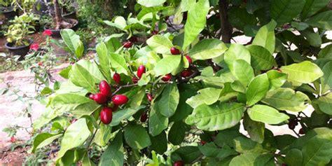 buah ajaib pengubah rasa  diminati clipsme