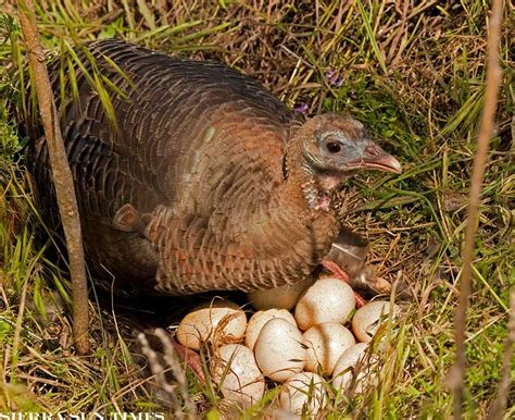 how to hatch wild turkey eggs with pictures ehow incubating wild turkey eggs music search engine at