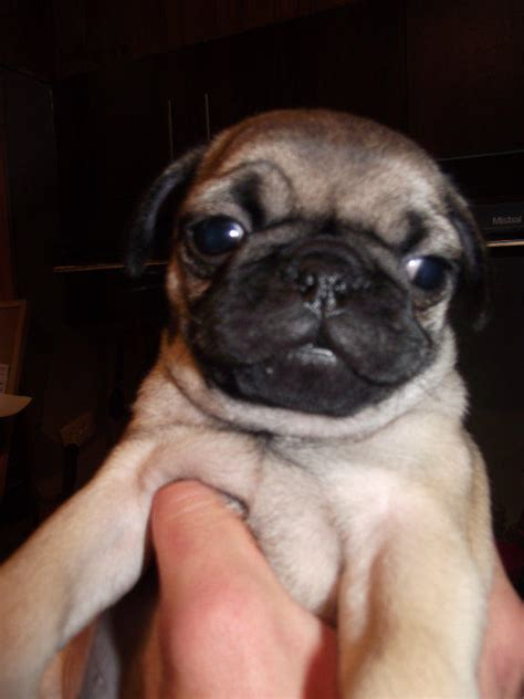 pugs for sale nsw for sale pug puppies