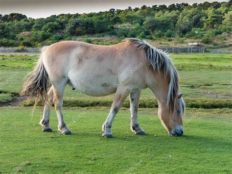 fjord paard fjord paard grazen holland stockfoto 169 tasfoto 95123852