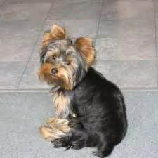 types of yorkie haircuts different types of yorkie haircuts pictures search