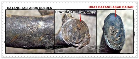 Gelang Akar Laut Bahar Merah Fosil 3rd koleksi akik cak irlan just info