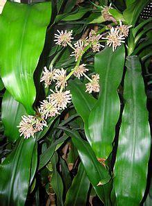 dracaena fragrans wikipedia