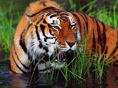 animal bengal tiger bengal tiger the of animals
