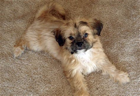 shih tzu chi mix shih tzu chihuahua mix dogable