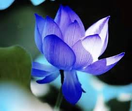 Blue Lotus Flowers For Sale 5 Pcs Lotus Seeds Nelumbo Nucifera Blue Water