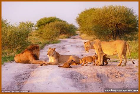 imagenes manada leones imagenes de manada de leones salvajes imagenes de leones