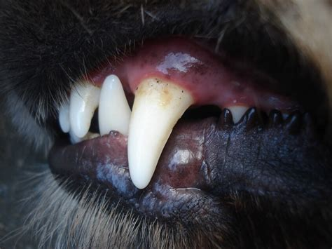 gum disease in dogs gum disease and gingivitis in dogs news dentagama