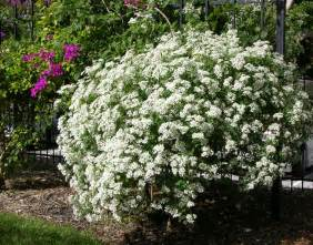 beautiful large flowering bushes homesfeed