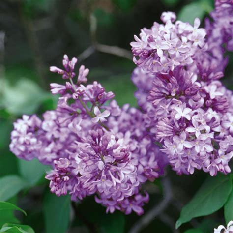 purple lilac how to plant and care for lilacs hgtv