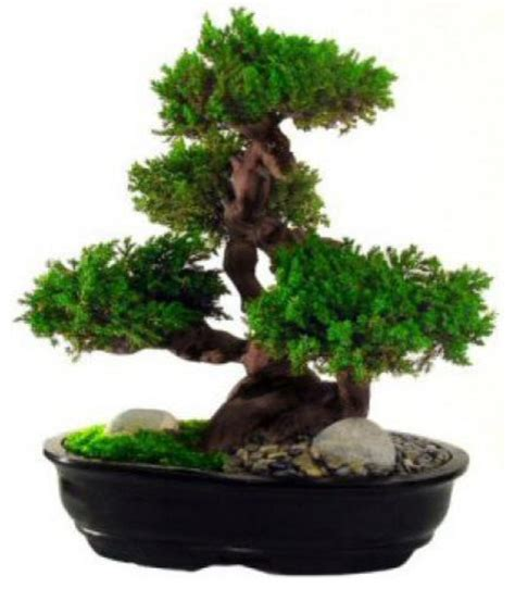 Floral Interiors Artificial Flowers And Trees by 20 Quot Monterey Preserved Bonsai Tree Artificial