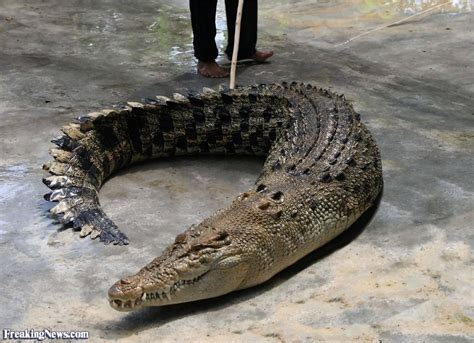 with no legs crocodile with no legs pictures freaking news