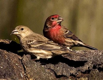 house finch male and female house finch identification all about birds cornell lab