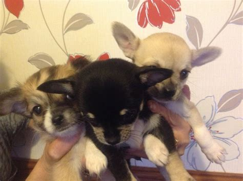 small house dogs for sale 3 beautiful small chihuahua puppies for sale cardiff cardiff pets4homes