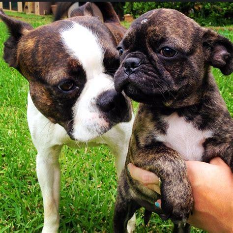 boston x pug boston terrier x pug cottage canines australia