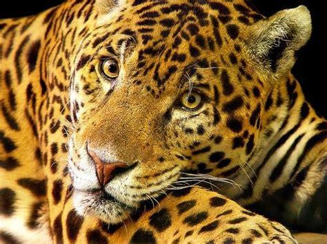 jaguar and cat fantastica animal jaguar cats animal