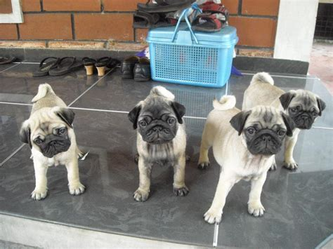 black pug price in india boxer for sale in kerala rajapalayam gsendhil kumar alsatian puppies for sale in