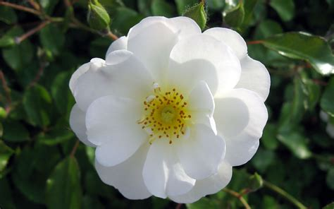 white flower images white rose flower sammer kale viralnetworks com