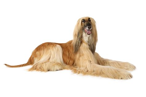 ancient breeds 20 most ancient breeds and how they re different from extinct dogs