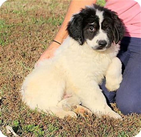 golden retriever puppies calgary glastonbury ct great pyrenees golden retriever mix meet calgary a puppy for adoption