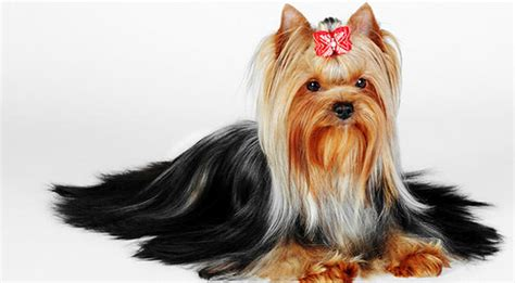 yorkie itchy skin improve your yorkie s skin coat with this one simple hack iheartdogs