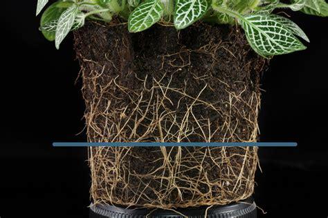 mosaic plant nerve plant fittonia albivenis