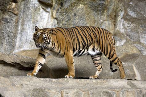 Rechnung Hinf Llig Englisch Sumatra Tiger