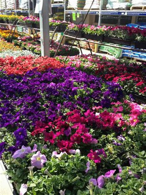 bedding plants gardening landscaping lost of colorful bedding plants
