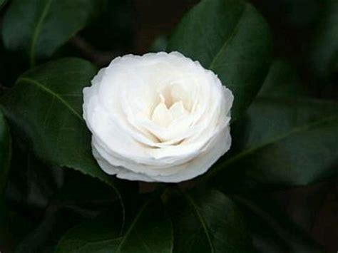 imagenes de flores blancas y negras imagenes y fotos flores fotos de rosas blancas parte 4