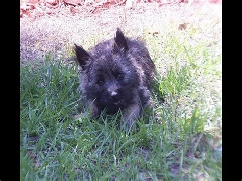 puppies clarksville tn cairn terrier puppies for sale in carolina nc